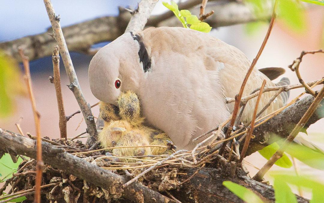 como palomo a la paloma