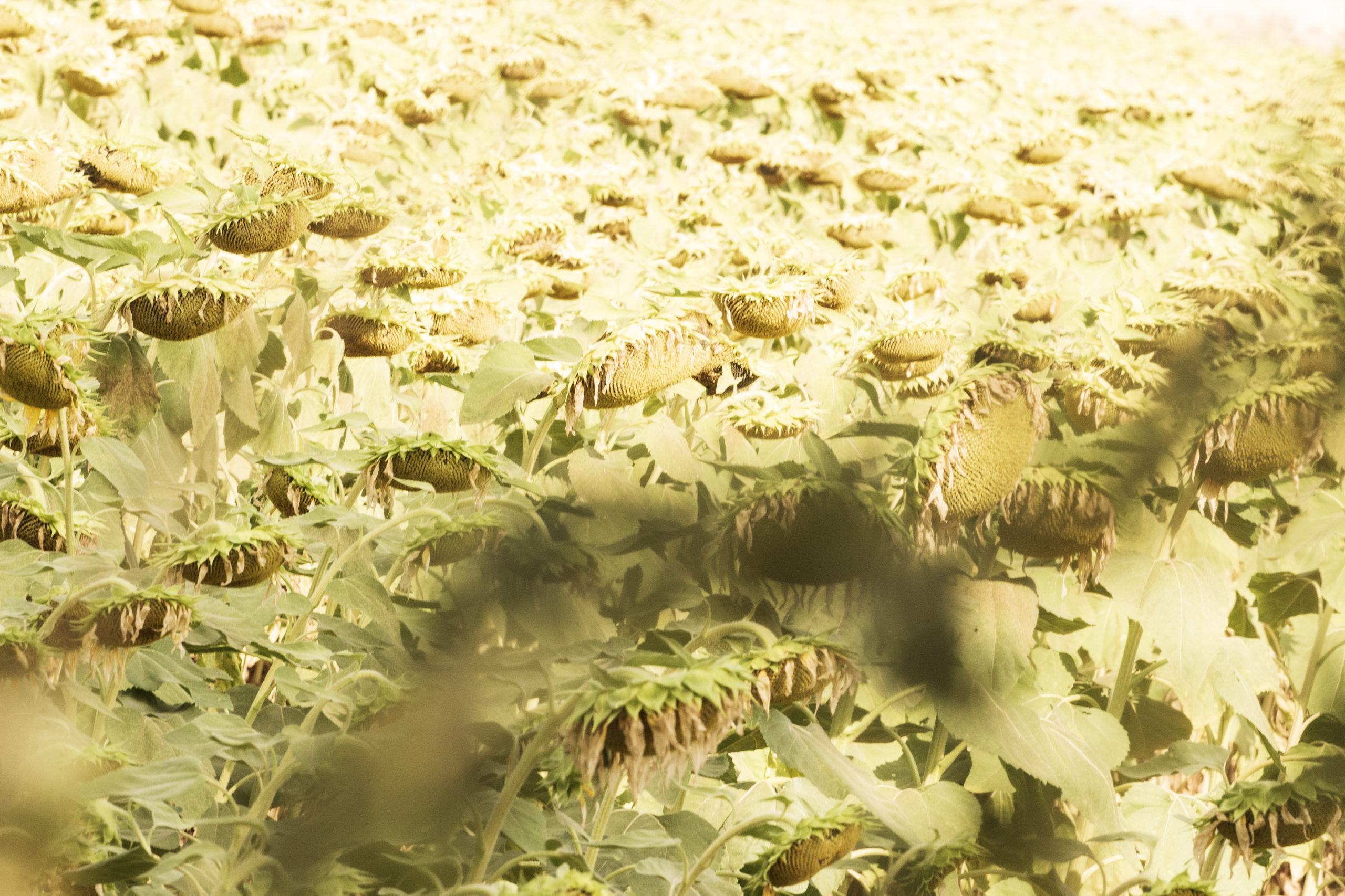 Campo de girasoles. Fotografía de Bea Seixas. Naturaleza y mundo rural de Girona (Cataluña)