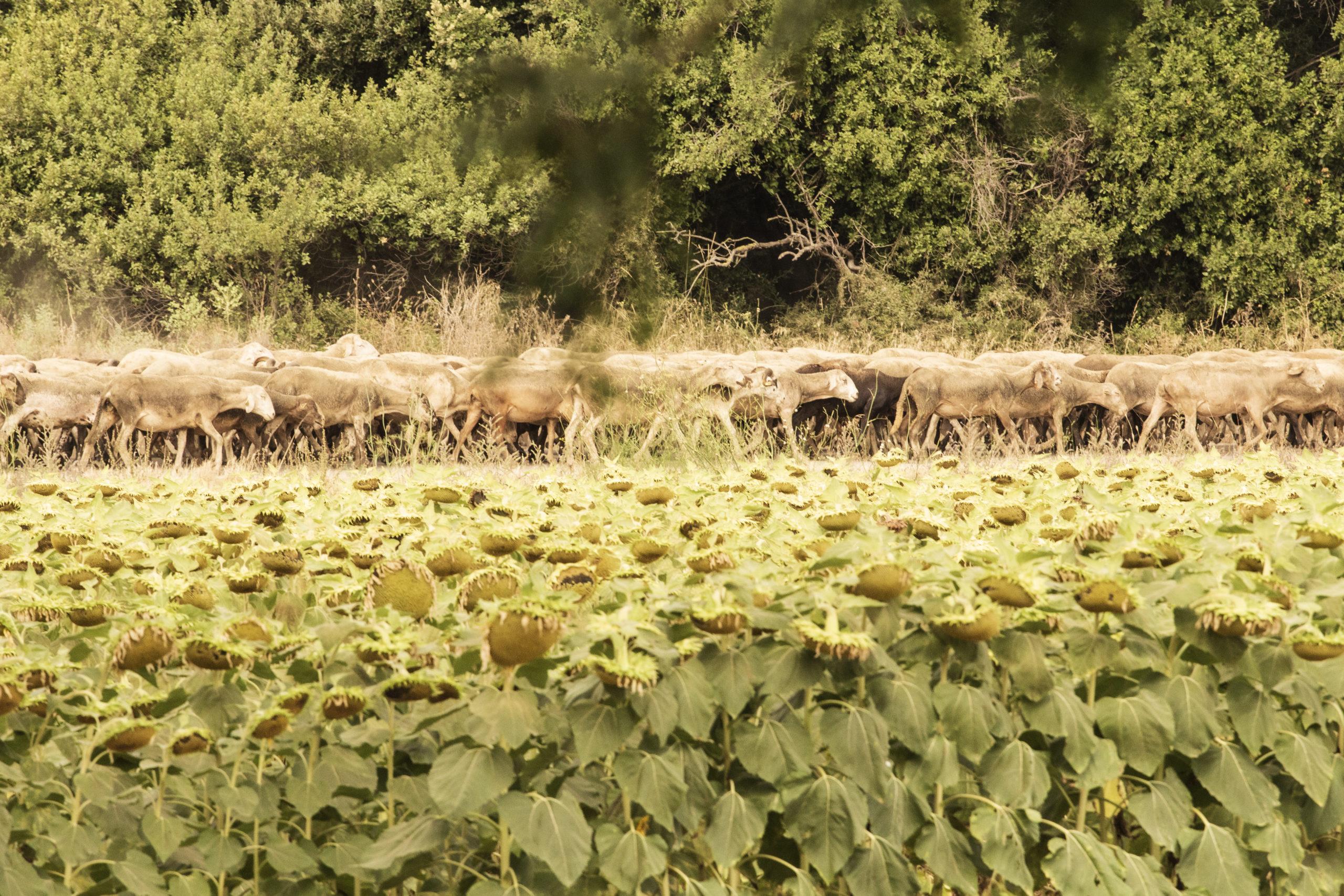 Foto de un rebaño de ovejas a su paso por una carretera. Esta fotografía animal fue realizada por Bea Seixas en un pueblo de Girona.
